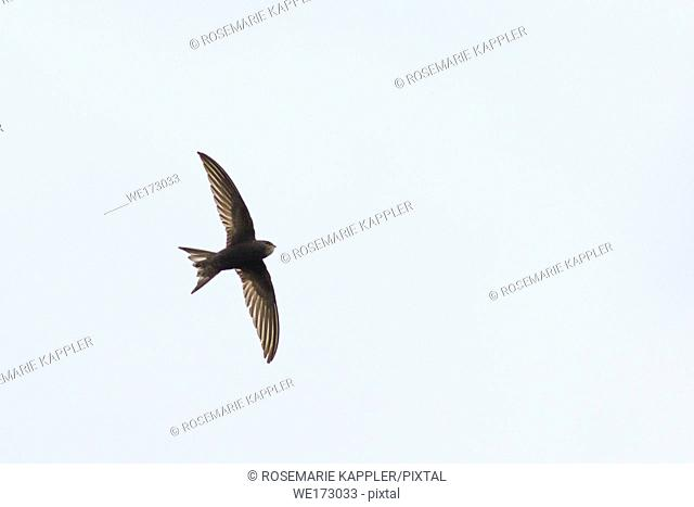 Germany, Saarland, Homburg - A common swift in the flight over homburg