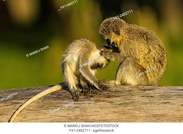 Vervet monkeys - Grooming in the early morning sunshine - Masai Mara National Reserve, Kenya