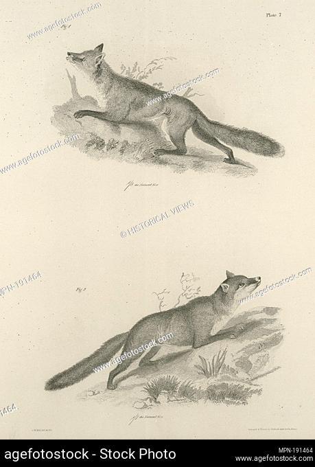 1. The Red Fox (Vulpus fulvus). 2. The Grey Fox (V. virginianus). De Kay, James E. (James Ellsworth), 1792-1851 (Author)