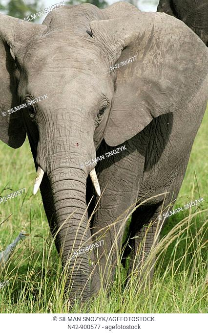 A baby elephant grazes with its mother on the grassy plains of the Masai Mara