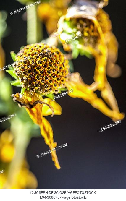 Close up of the dried flower head and petals of the helitanthus angustifolia sunflower