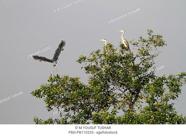 Cattle Egrets at the Sundarbans, a UNESCO World Heritage Site and a wildlife sanctuary The largest littoral mangrove forest in the world