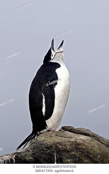 Chinstrap Penguin (Pygoscelis antarcticus). Barrientos Island, South Shetland Islands, Antarctica