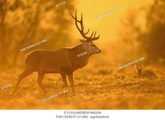 Red Deer (Cervus elaphus) mature stag, with calf in background, during rutting season, Bradgate Park, Leicestershire, England, October