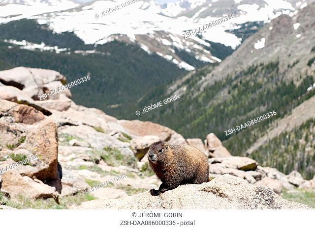 Yellow-bellied marmot (Marmota flaviventris), Rocky Mountain National Park, Colorado, USA