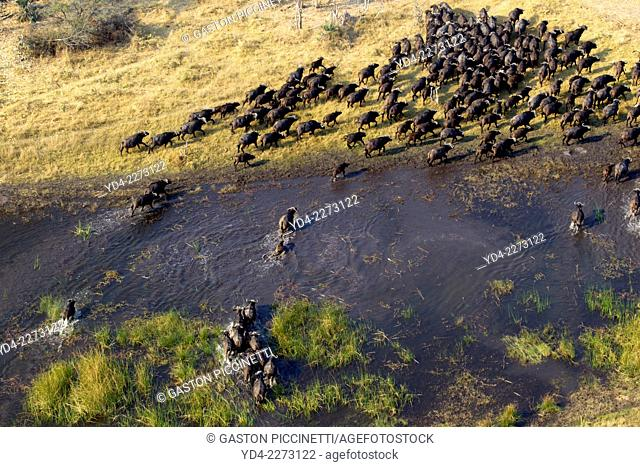 Aerial view of herd of African buffalos (Syncerus caffer), crossing the floodplain. Okawango Delta, Botswana. The Okavango Delta is home to a rich array of...