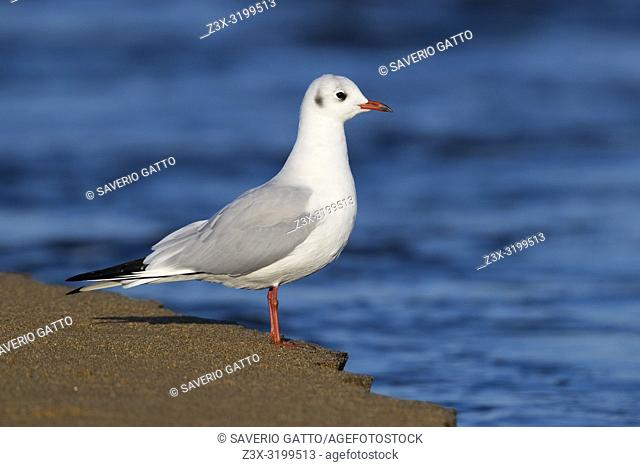 Black-headed Gull (Chroicocephalus ridibundus), side view of an adult in winter plumage standing on the shore