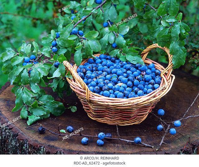 Blackthorn berries on shrub and in basket Prunus spinosa