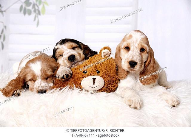 3 sleeping English Cocker Spaniel Puppies