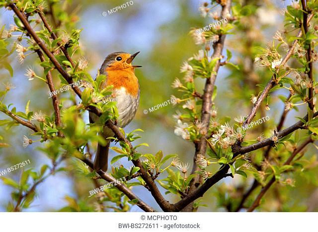 European robin Erithacus rubecula, sitting in a bush singing, Germany
