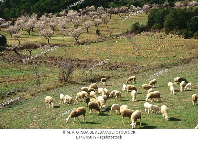 Sheep and almond trees in Santa Eulalia de Gállego. Zaragoza. Spain