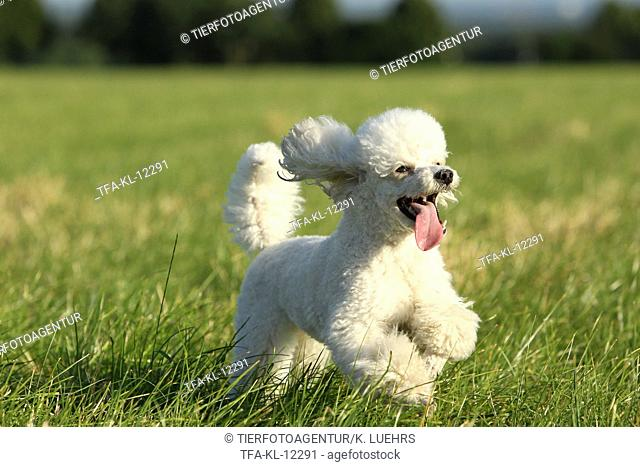 running Miniature Poodle