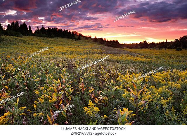 A field of Goldenrod and Milkweed at sunset at the Rogers Reservoir in East Gwillimbury, Ontario, Canada