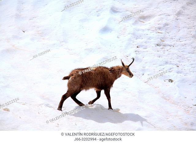 Chamois (Rupicapra rupicapra) walking through the snow in the National Park Gran paradiso. Italy