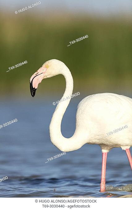 Group of greater flamingo (Phoenicopterus roseus). Camargue, France
