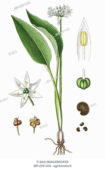 Ramsons, buckrams, wild garlic, broad-leaved garlic, wood garlic, bear leek, or bear's garlic (Allium ursinum), medicinal plant, useful plant, chromolithograph