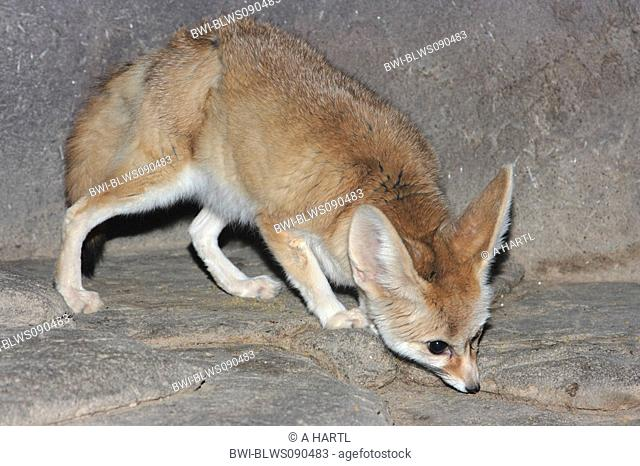 fennec fox Fennecus zerda, Vulpes zerda, on a rock