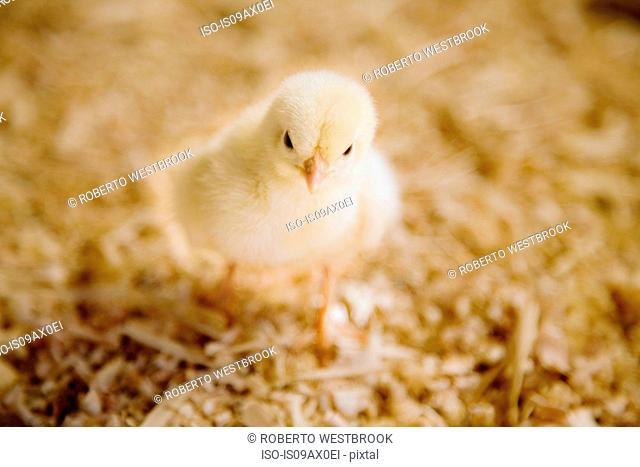Chick, close-up