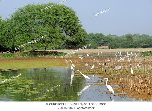 India, Rajasthan, World Heritage Site, Bharatpur Bird Sanctuary, Keoladeo Ghana National Park, Large Egrets