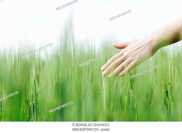 Woman's hand touching green wheat ears