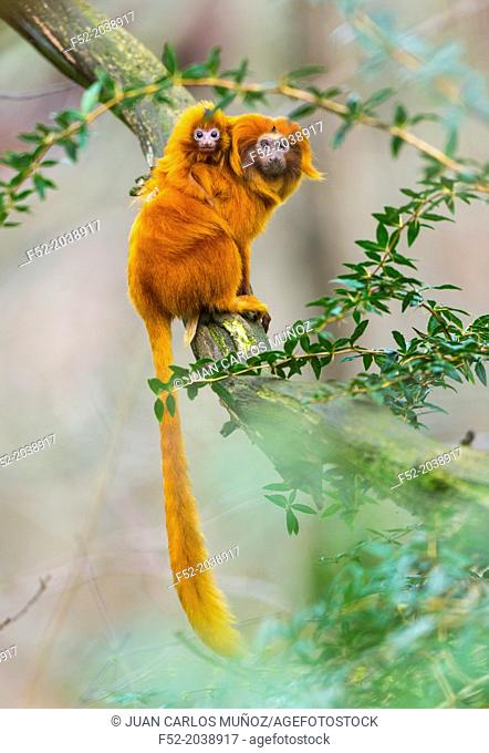 GOLDEN LION TAMARINLeontopithecus rosalia. Apenheul Zoo, Holland