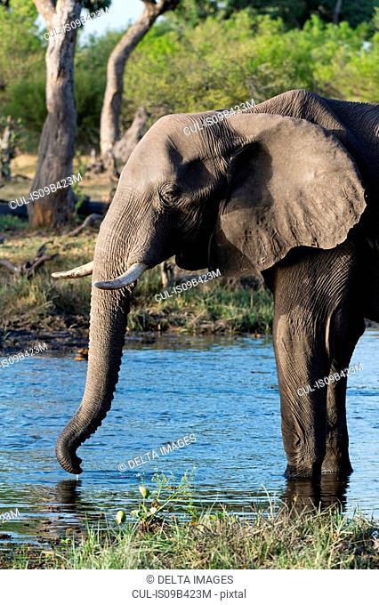 Elephant (Loxodonta africana) drinking in river, Khwai concession, Okavango delta, Botswana