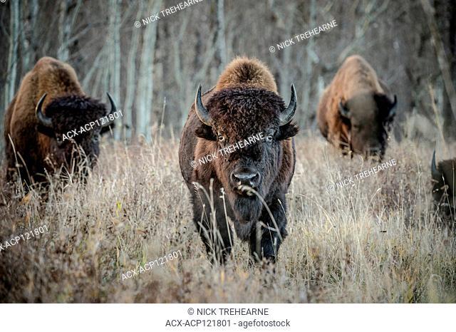 Bison bison - Bison, Elk Island National Park, Alberta, Canada