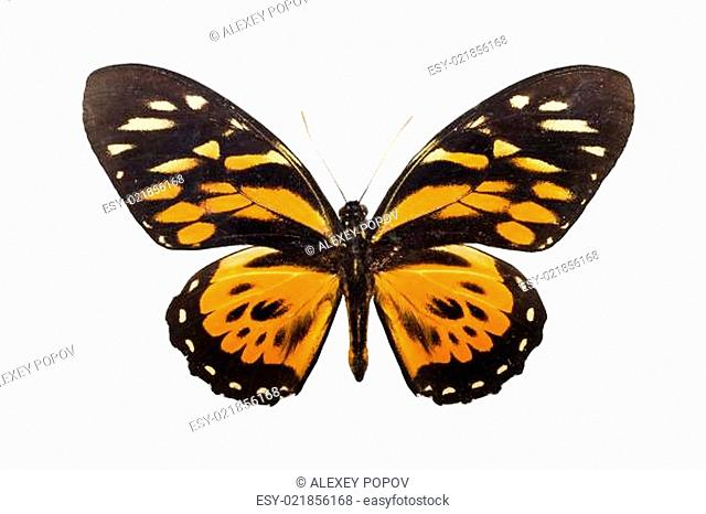 Butterfly Tithorea harmonia