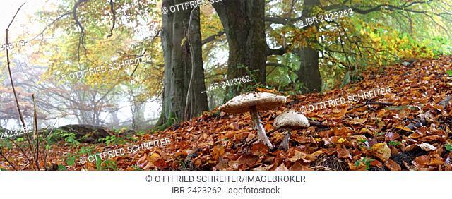 Panorama, Parasol Mushrooms (Lepiota procera) and old Beech (Fagus) trees in autumn, foggy mood, Breidscheid, Westerwald, Hesse, Germany, Europe