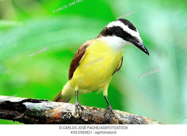 (Pitangus sulphuratus) Bienteveo Grande, en el Parque Nacional de Manuel Antonio, Costa rica