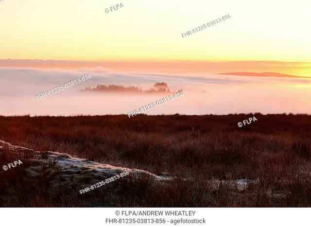 View of thick fog filling valley with top of conifer plantation breaking through at sunrise, Emmetts Grange, Dunkery Beacon, Kinsford Gate, Exmoor, Somerset