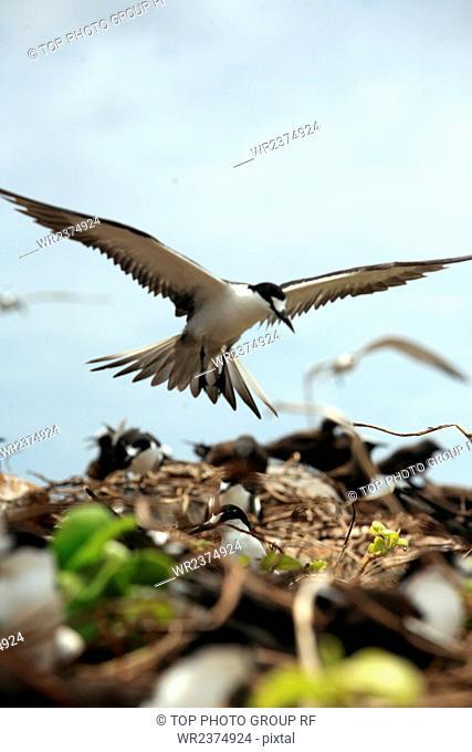 Zengmu Reef The South China Sea Malaysia Swallow Reef Bird Island gulls habitats 2009