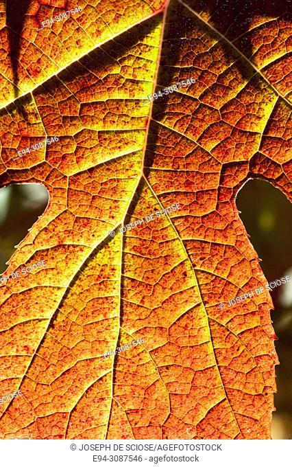 Close-up of an Oak Leaf Hydrangea leaf in fall color