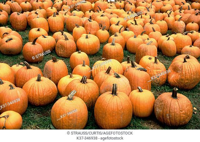 Pumpkins at farmer's market. Fall in New England. USA