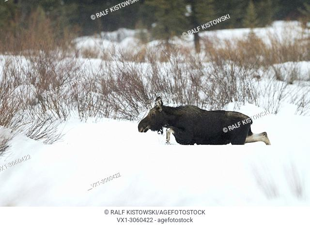Moose ( Alces alces ), young bull in winter, walking through deep snow over a clearing, greater Yellowstone area, Wyoming, USA.