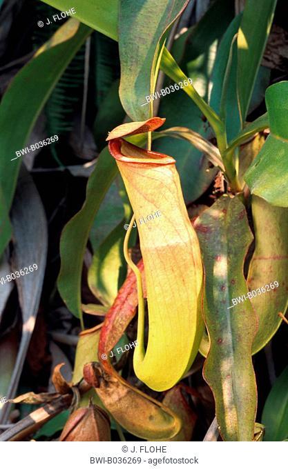 pitcher plant (Nepenthes albomarginata), tubular shaped leaf, China, Hong Kong