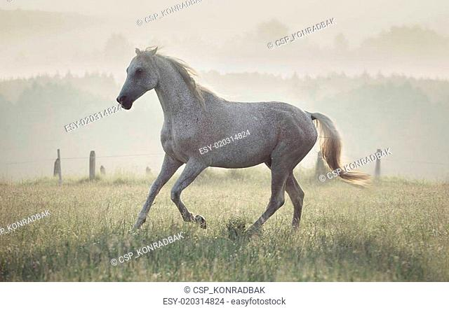 Spotted white horse running through the meadow