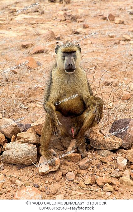 Kenya, Tsavo East National Park. A free baboon in her land