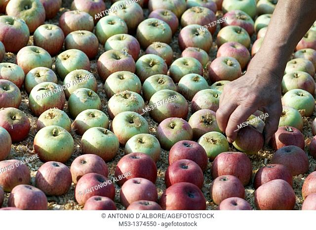 farm worker turning annurca apples layed on wood chips beds to ripe  santa croce  province of benevento  campania  italy  europe