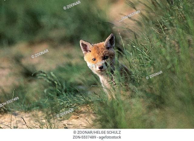 Rotfuchswelpe sitzt angespannt aeugend vor dem Fuchsbau - (Rotfuchs - Fuchs) / Red Fox kit sitting intently looking in front of the foxs den - (European Red...