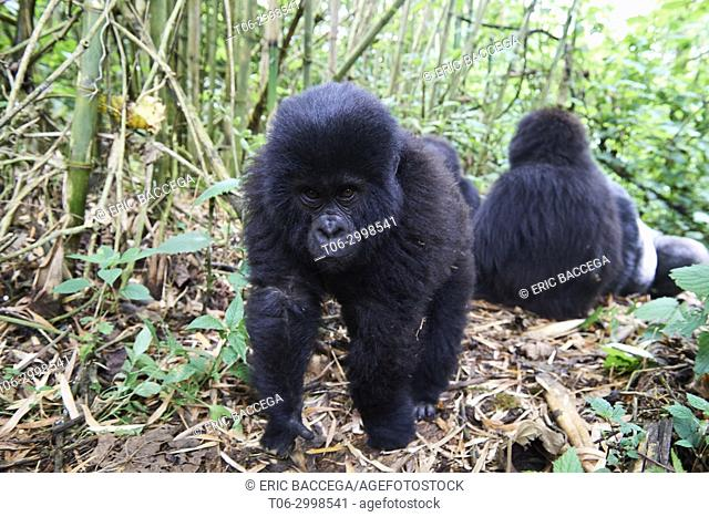 Curious young mountain gorilla aged 2 years (Gorilla beringei beringei) comes nearer to the camera. He belongs to a family group named Munyaga
