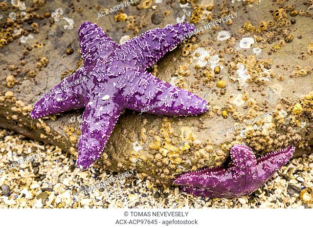 Starfish (sea star) at Montague Harbour Marine Provincial Park on Galiano Island in the Gulf Islands, British Columbia, Canada