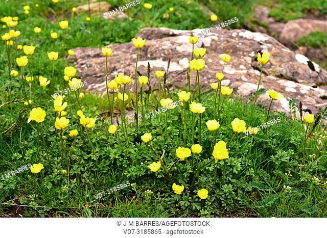 Boton de oro (Ranunculus ollissiponensis) is a perennial herb native to central Iberian Peninsula. This photo was taken in Babia, Leon province, Castilla-Leon