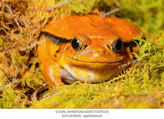Tomato Frog (Dyscophus antongilii) Captive, Reptilia reptil zoo, Vaughan, Ontario, Canada