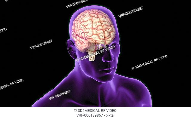 An animation of the brainstem. The camera zooms in and rotates to show a lateral view right side of the brainstem. The caudate nuclei and the olfactory nerve is...