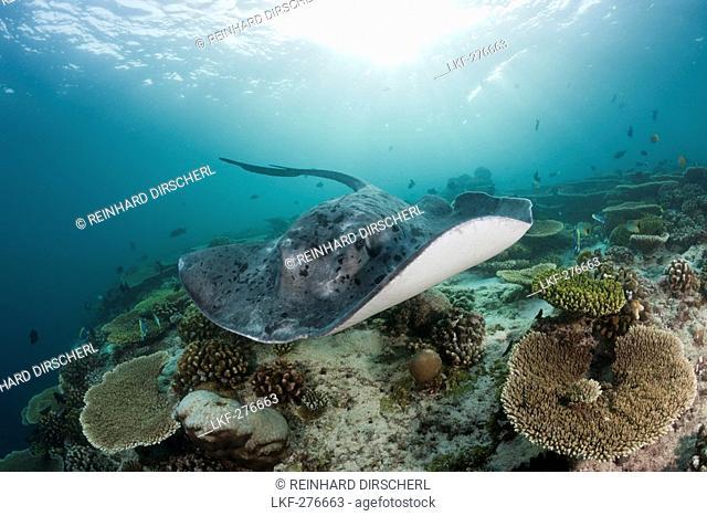 Blackspotted Stingray, Taeniura meyeni, Maldives, Ellaidhoo House Reef, North Ari Atoll