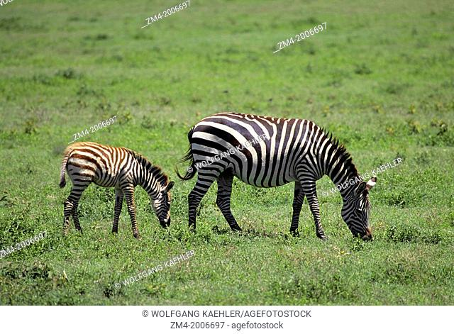 TANZANIA, NGORONGORO CRATER, GRAZING ZEBRA WITH FOAL
