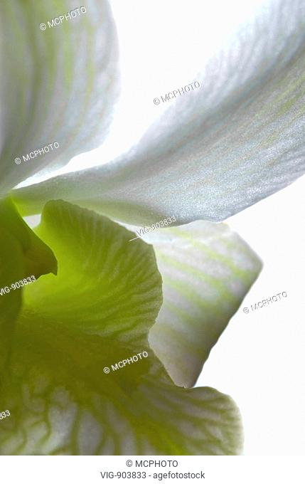 This stock photo shows a abstract close up of beautiful fresh white orchid flower. The image was taken in soft backlight on a white background