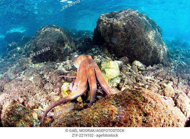 Common octopus in Marseille. Octopus vulgaris