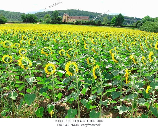 A sun flower field in Dordogne